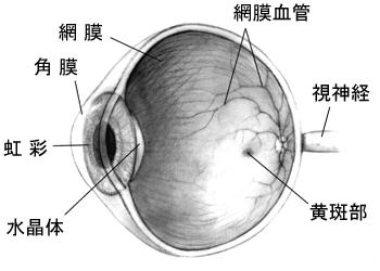 Human_eye.png